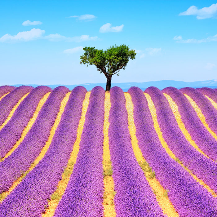 farm-purple